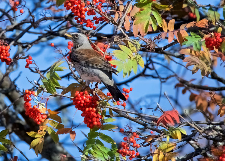 Fieldfare Autumn Colors Autumn Leaves Animal Themes Animals In The Wild Beauty In Nature Berrys Bird Branch Close-up Day Fieldfare Focus On Foreground Freshness Nature No People One Animal Outdoors Tree