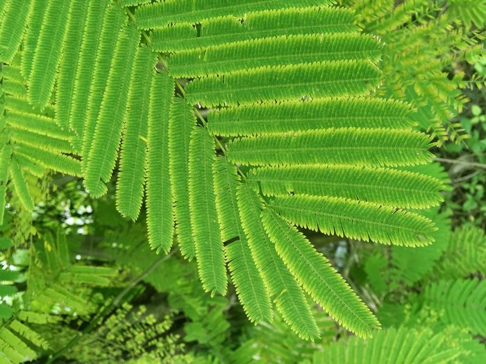 Acacia Acacia Pennata Agriculture Branches Cha-om Climbing Wattle Green Color Herb Tree Beauty In Nature Branch Close-up Day Evergreen Foliage Fragility Fresh Freshness Garden Green Color Growth Herbal Leaf Leaves Limb Nature No People Outdoors Plant Senegalia Pennata