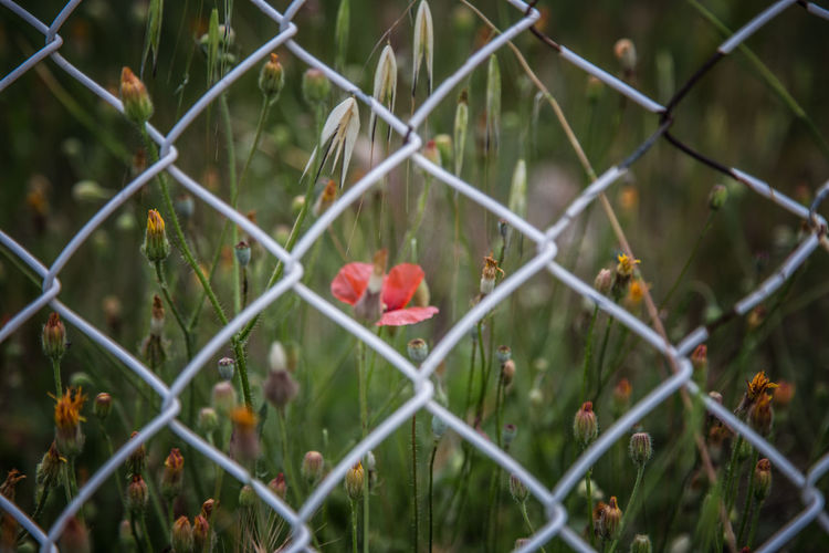 Barrier Boundary Chainlink Fence Close-up Day Fence Flower Flowering Plant Freshness Growth Metal Nature No People Outdoors Plant Protection Red Safety Security Selective Focus 17.62°