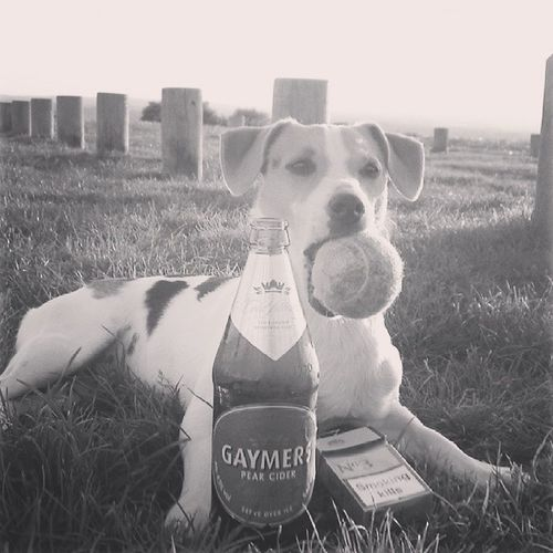 Poordog Jrt Jackrussellsofinstagram Igerdogs instadogs ball fags booze underage naughty dog itsadogslife pose doggiemodel summerevening 2010 goodtimes
