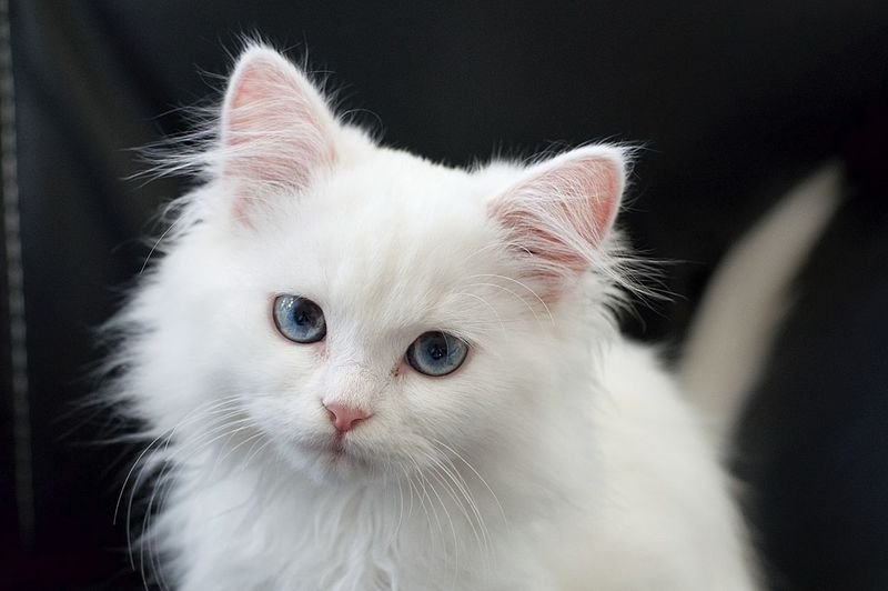 Blue Eyes Cats Of EyeEm EyeEm Nature Lover Pet Portraits Animal Themes Cats Close-up Day Domestic Animals Domestic Cat Feline Indoors  Kitten Looking At Camera Mammal No People One Animal Pets Portrait Whisker