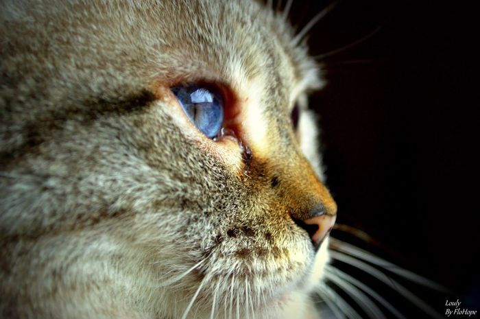 Chat Cat Katze Félin  Yeux Bleus