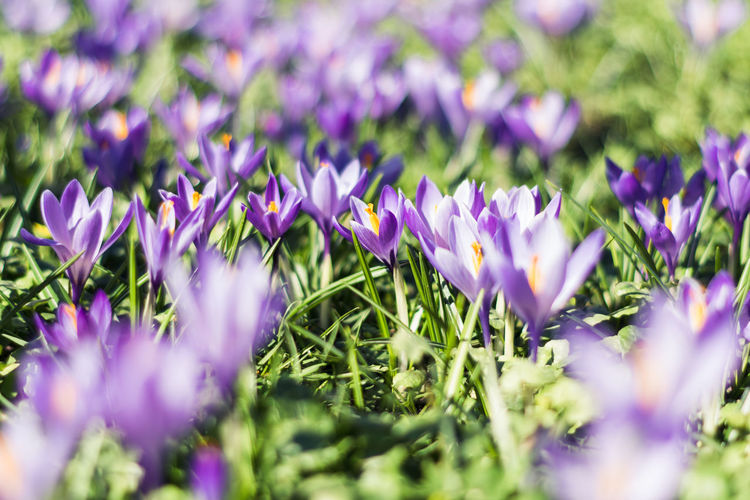 Crocus. Purple Growth Nature Flower Beauty In Nature Plant Freshness Green Color No People Grass Fragility Outdoors Day Close-up Flower Head Crocus