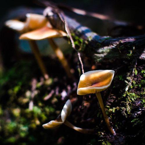 | Fungus | GH4 Panasonic  Mushroom Norcal Lowkey  Shadows Muir Mountains Redwoods Magic Psilocybin Trip Experience Digital Enlighten Path Dirt Mud Spores Fungus Acid SF Bayarea