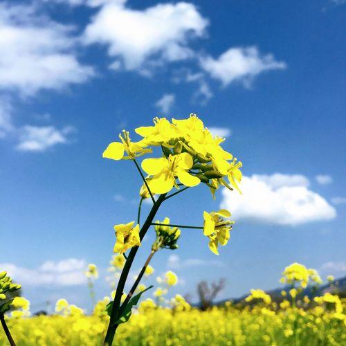 7が並んだので菜の花あぷ!笑 菜の花 花 空 春 Rape-blossom Flower Spring Yellow Flower Head
