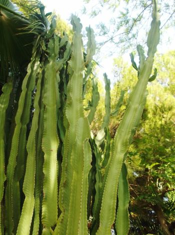 Cactus Green Toweringabove Plants Tropical Spikes