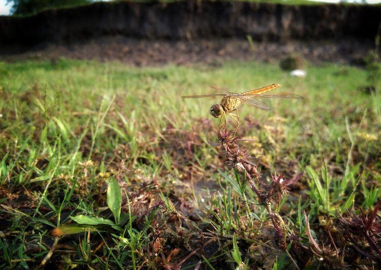 Dragonfly Full