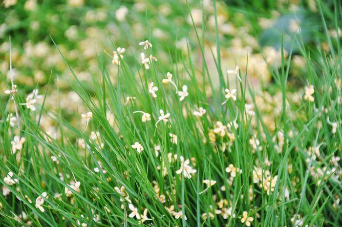 Autumn Colors Sweet Osmanthus Flower Grass