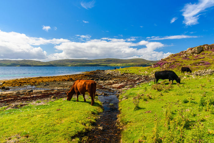 Coral Beach, Isle Of Skye Scotland Animal Themes Beauty In Nature Cloud - Sky Cow Day Domestic Animals Farm Animal Grass Grazing Landscape Livestock Mammal Nature No People One Animal Outdoors Scenics Sea Sky Standing Tranquil Scene Tranquility Water