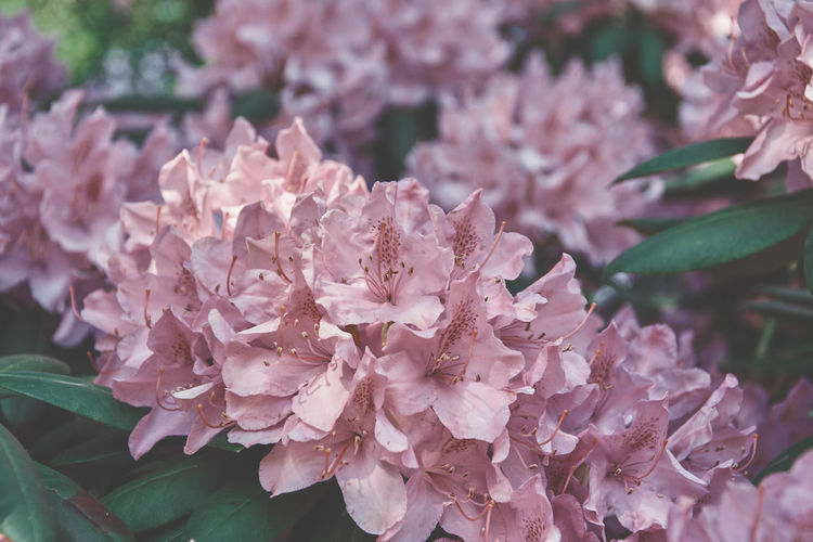 Beauty In Nature Botany Bunch Of Flowers Close-up Day Flower Flower Head Flowering Plant Fragility Freshness Growth Inflorescence Leaf Lilac Nature No People Outdoors Petal Pink Color Plant Plant Part Pollen Springtime Vulnerability