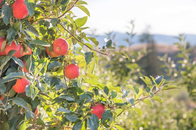 Beautiful apples on branch with orchard hills sunshine background autumn Afternoon British Columbia, Canada Naramata September Agriculture Apples Beauty In Nature Branch Close-up Crop  Food Food And Drink Fruit Harvest Healthy Eating Orchard Outdoors Red Red Apples Ripe Sky South Okanagan Summer Sunshine Tree