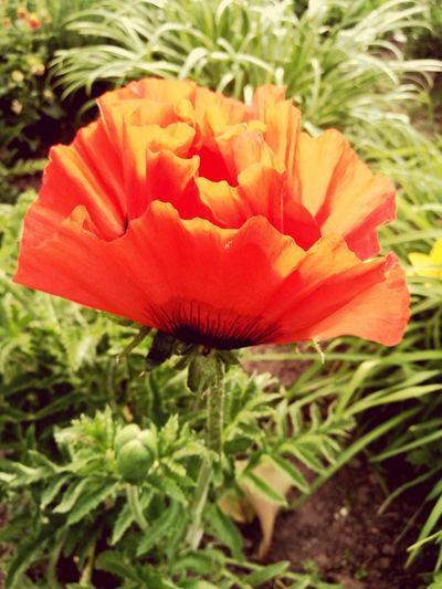 Poppy Flower First Eyeem Photo
