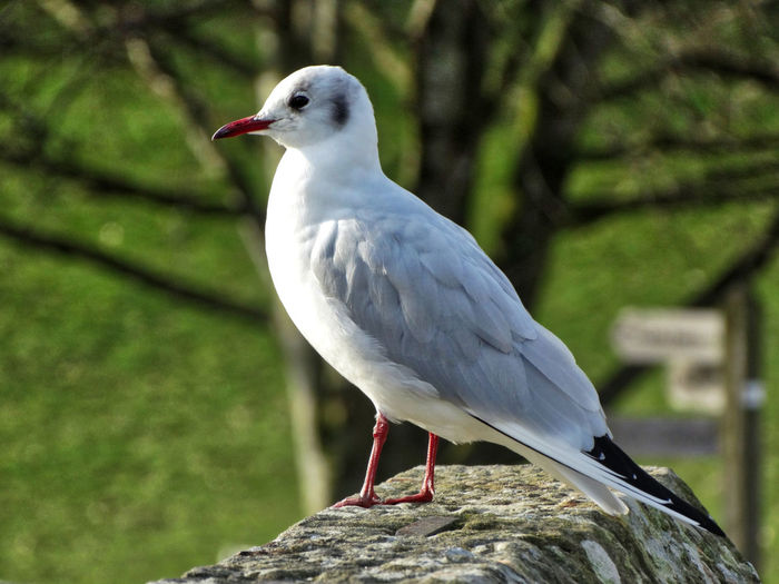 Seagull stood on stone wall. Bird Animals In The Wild Animal Wildlife Animal Themes Animal Perching One Animal Seagull Outdoors Nature White Color Close-up Day Seagulls Sea Bird No People Focus On Foreground Rock Wildlife Rock - Object