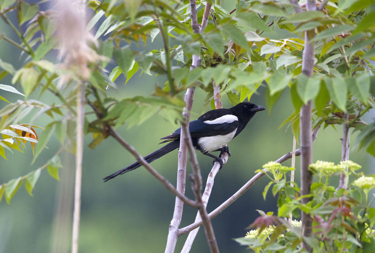 Animal Themes Animal Wildlife Animals In The Wild Beauty In Nature Bird Magpie Nature One Animal Pica Pica