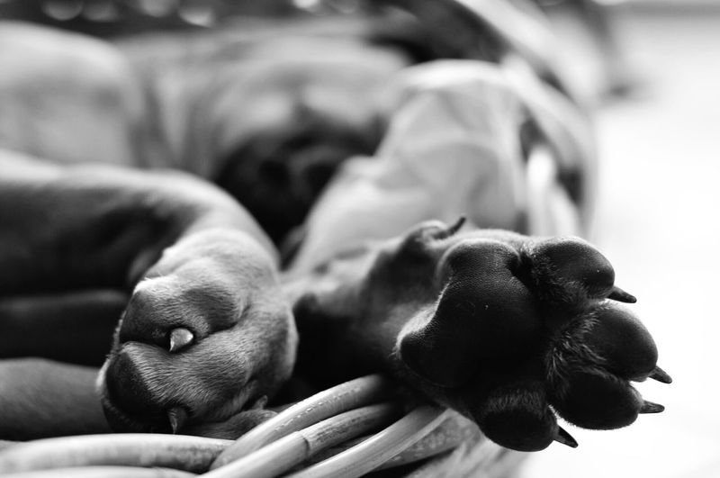 my little Ben .. Dogs Of EyeEm Dog Photography Dog Dog Love Pets One Animal Close-up Focus On Foreground Blackandwhite Rhodesianridgeback Blackandwhite Photography My Ben On Eyeem