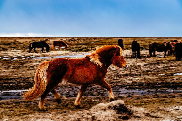 Side view of pony running on grassy field