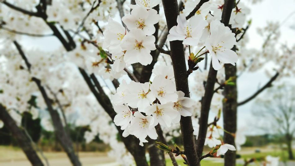 Cherry Blossoms White Flowers Spring Spring Flowers