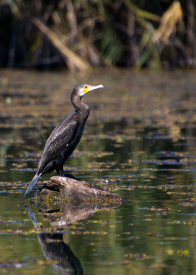 cormoran bird
