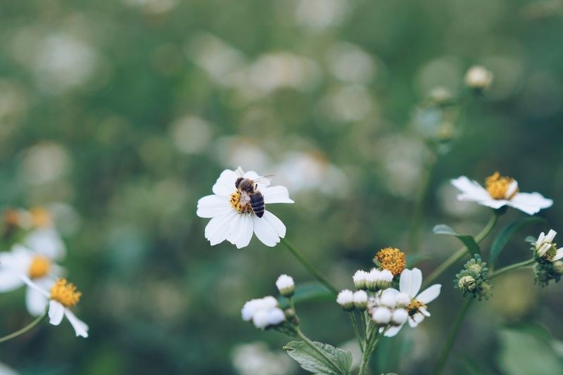 Flower Insect White Color Nature Petal Fragility Animal Themes One Animal Growth Freshness Flower Head Beauty In Nature Animals In The Wild Plant No People Bee Day Focus On Foreground Outdoors Blooming