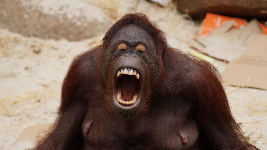 Animals Affe Orang Utan One Animal Tierfotografie Tierfoto