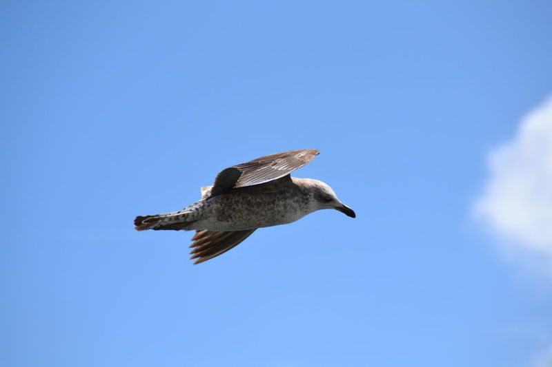 Flying Bird Blue One Animal Animals In The Wild Spread Wings Clear Sky Animal Wildlife Freedom Outdoors Nature Beauty In Nature Day Animal Themes Motion No People Sky Seagull Blue Sky Birds Wildlife Birds Of EyeEm  Flying Seagull Flying In The Sky Flying Bird Animals In The Wild