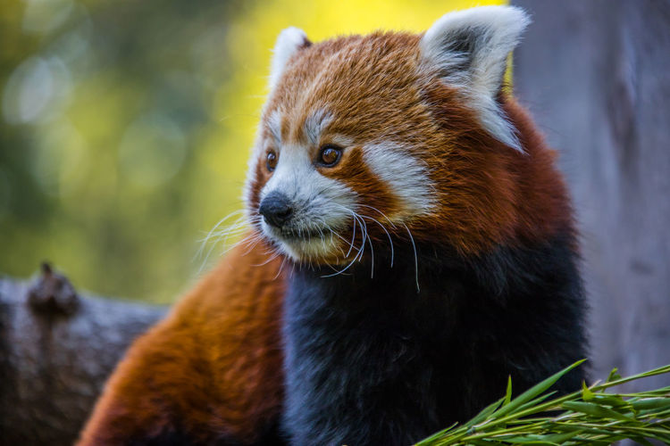 Close-up portrait of a red panda