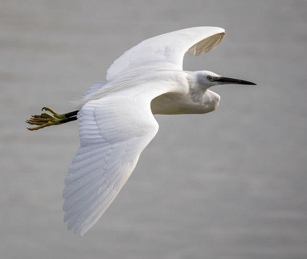 Little Egret Flying Over Lake