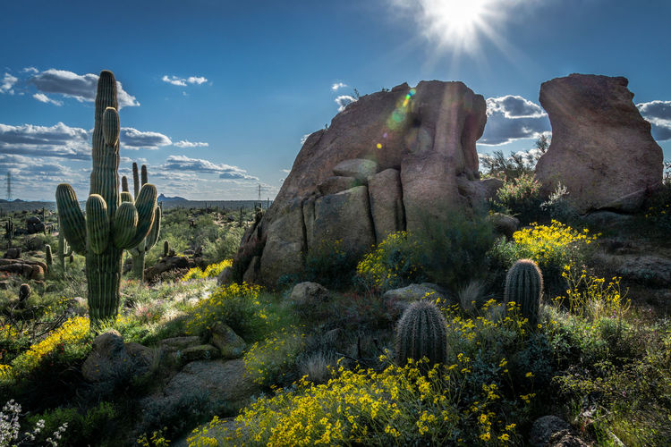 Saguaro cactus plants growing on rocks against sky
