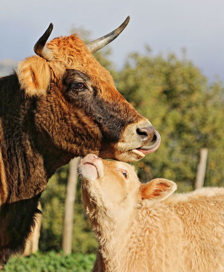 Close-up of cow and calf