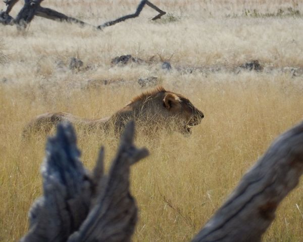 Animal Themes Animal Wildlife Animals In The Wild Lion Hunting Mammal Nature No People Outdoors
