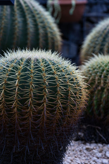 Barrel Cactus Beauty In Nature Cactus Close-up Day Ecosystem  Field Focus On Foreground Green Color Growth Land Natural Pattern Nature Needle - Plant Part No People Outdoors Plant Saboten Sharp Spiked Spiky Succulent Plant Thorn Warning Sign サボテン