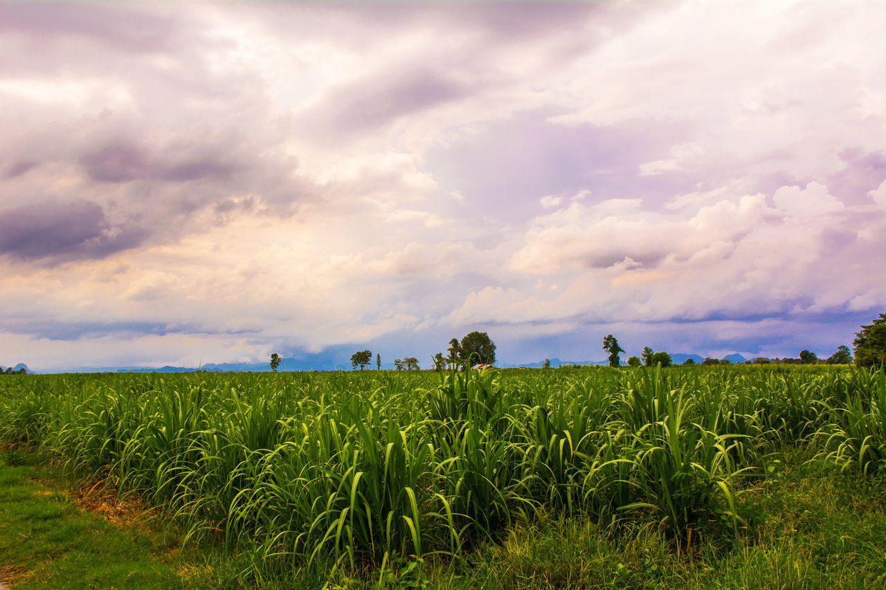 agriculture, sky, field, cloud - sky, growth, nature, crop, farm, landscape, rural scene, cereal plant, beauty in nature, scenics, tranquility, outdoors, tranquil scene, green color, day, plant, grass, farmer, rice paddy, sunset, wheat, people
