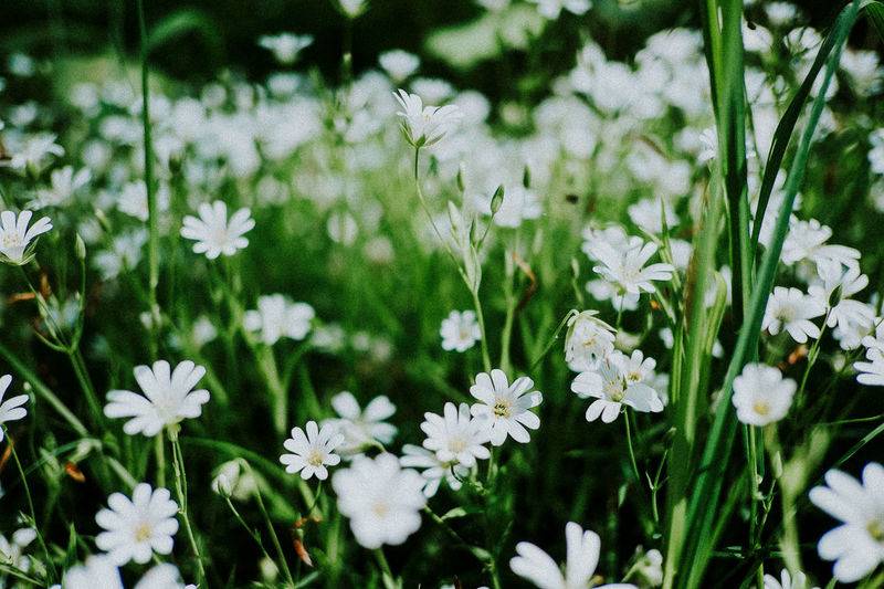 Beauty In Nature Bloom Blooming Blooming Flower Calming Close-up Dark Nature Day Flower Flower Head Fragility Freshness Grass Green Growth Nature No People Outdoors Plant Spring Walk Wanderlust White Bloom