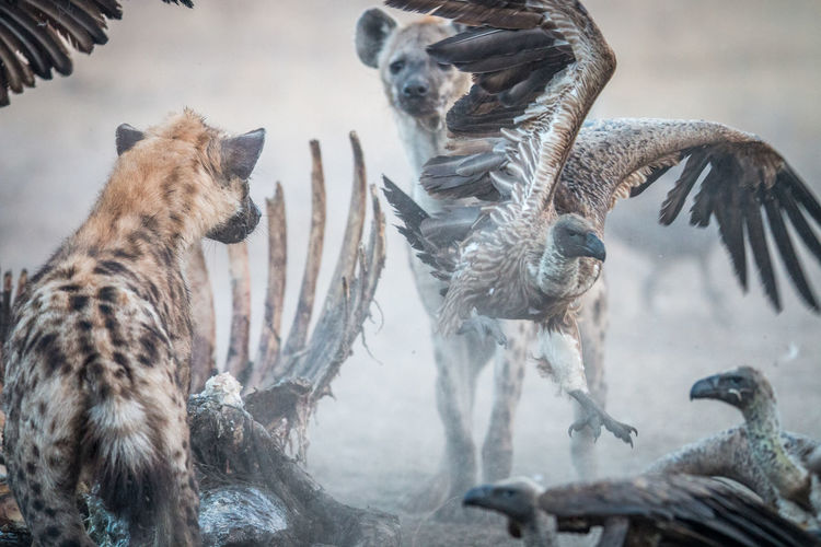 Close-up of hyena and birds
