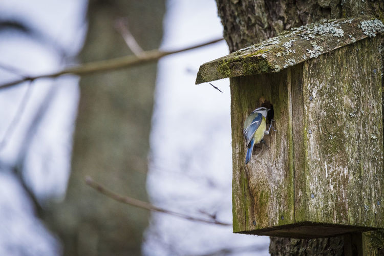 Bluetit at its house Tree Vertebrate Tree Trunk Birdhouse Animal Trunk Bird Animal Themes Focus On Foreground Wood - Material Animals In The Wild No People Animal Wildlife Day Plant Close-up One Animal Nature Outdoors Selective Focus Wooden Post
