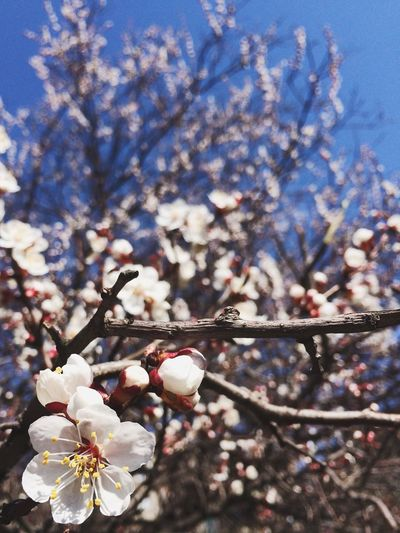Growth Flower Nature Beauty In Nature Tree Springtime Fragility Freshness In Bloom Cherry Blossom Branch Petal No People Outdoors Plum Blossom Close-up Cherry Tree Pink Color Day
