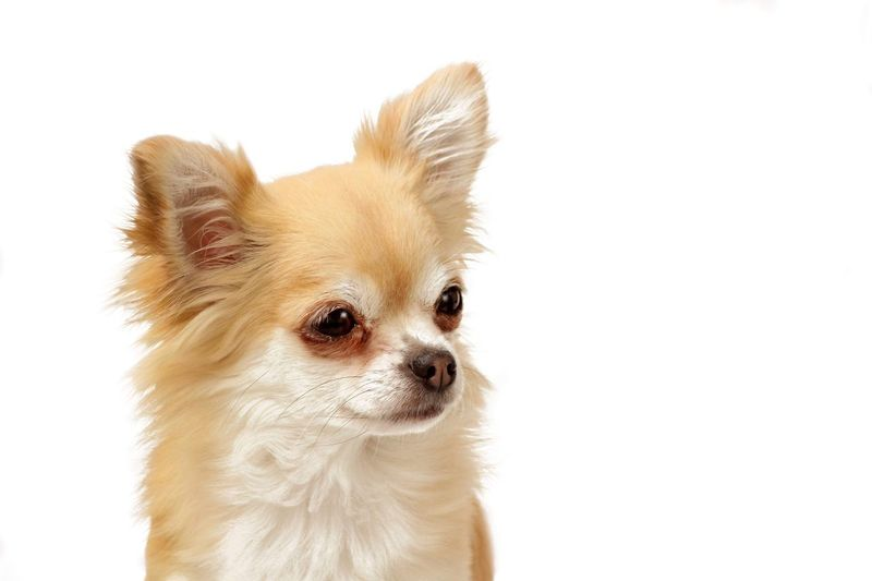 Chihuahua Rainy Chihuahua Chichi EyeEm Selects Rainy One Animal Mammal Animal Animal Themes Domestic Dog Canine White Background Small Chihuahua - Dog Cute