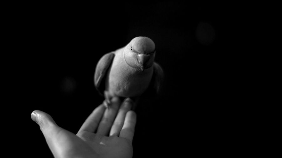 Close-up of hand with parrot over black background