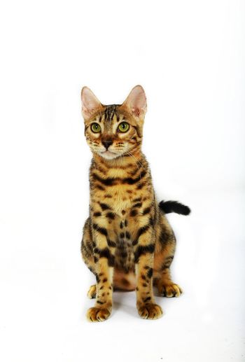 D'BlueKill R.A Nirmala 😸😻 Animal Looking At Camera Pets Young Animal Leopard Animal Themes Bengal Bengal Cat Spotted Animals Hunting Close-up Bengal Kitten Animal Wildlife Bengalworld One Animal Domestic Cat Feline Humor White Background Portrait Cute Sitting Mammal Owl Kitten
