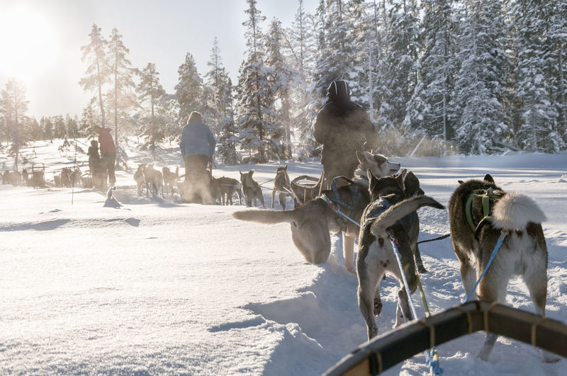Rear View Of People Dogsledding