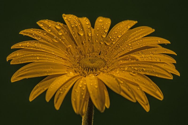 Close-Up Of Wet Yellow Gerbera Daisy Against Black Background