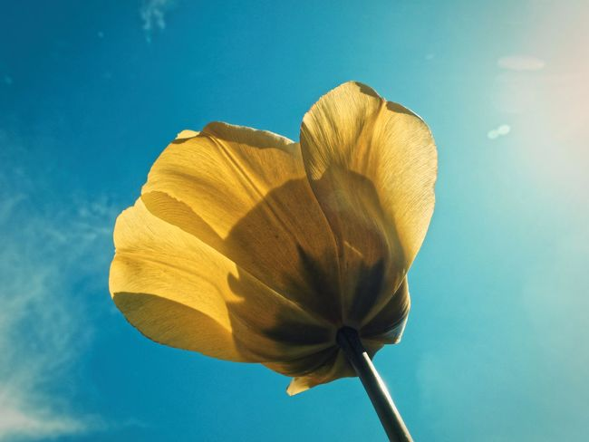 Beauty In Nature Claudetheen Close-up Flower Flowers Sky Tulip Tulips Flowers Up Close Yellow