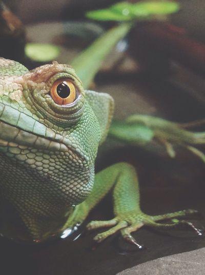 Reptiles Reptile Afina My Pet