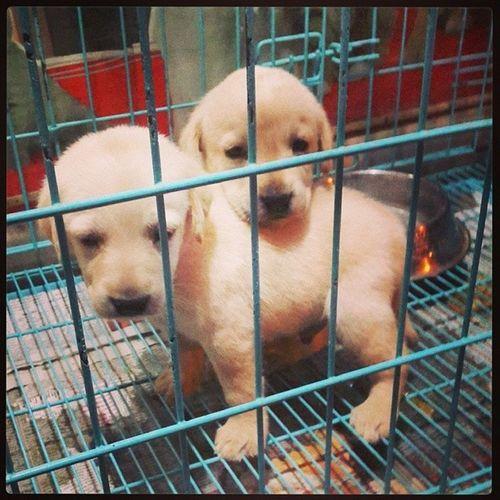 'Awwwwwwwww face'? Lab So Cuteee Pet shoppicoftheday