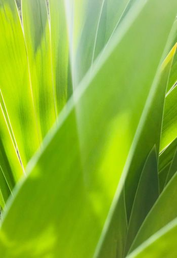 Green leaves Leaf Green Color Growth Nature Plant Close-up Day Beauty In Nature No People Outdoors Sunlight Frond Palm Tree Grass Freshness Leafs Photography IPhoneography