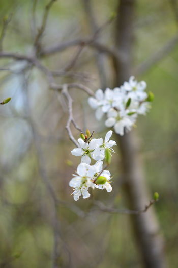 Plant Flowering Plant Flower Fragility Growth Beauty In Nature Freshness Tree Vulnerability  White Color Close-up Day Blossom Focus On Foreground Nature Branch Springtime No People Selective Focus Tranquility Flower Head Outdoors Pollen Cherry Blossom Spring
