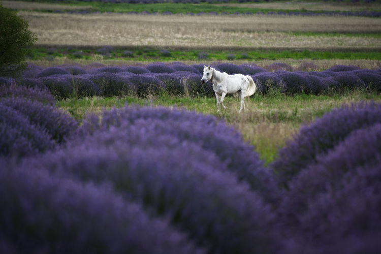 Lavender Flowers Horse Sky Nature Day Plain Autumn Solid View Land Outdoors Flower Head Waterfront Building Exterior Rock - Object Plant Flower Purple Flowering Plant Field No People Flowerbed Small Domestic Animals