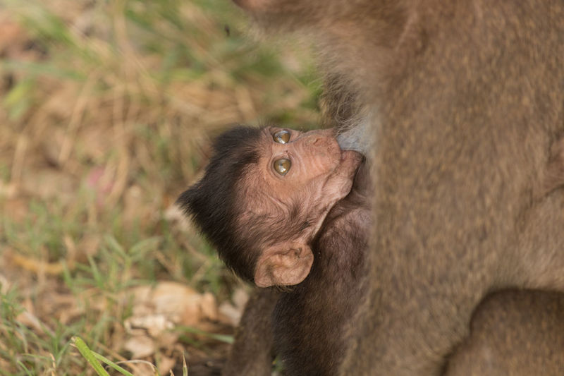 Close-up of long-tailed macaque feeding infant at zoo