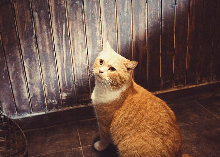 Domestic Cat Pets Domestic Animals One Animal Animal Themes Feline Cat Whisker Sitting Mammal No People Indoors  Day Ginger Cat Close-up Persian Cat