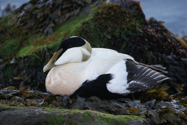 Eiderente Duck